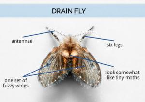 Drain fly body